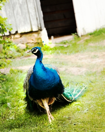 amish-a-peacock-web.jpg